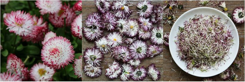 English daisies, fresh and dried. More about edible flowers on breakfastwithflowers.com
